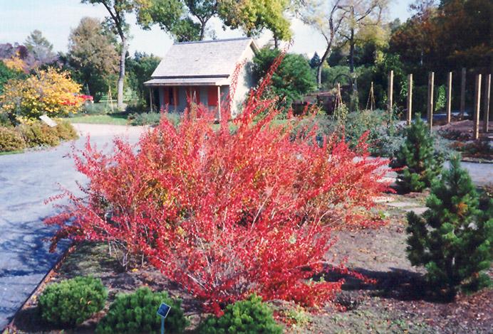 Bridalwreath Spirea Spiraea Prunifolia In Columbus