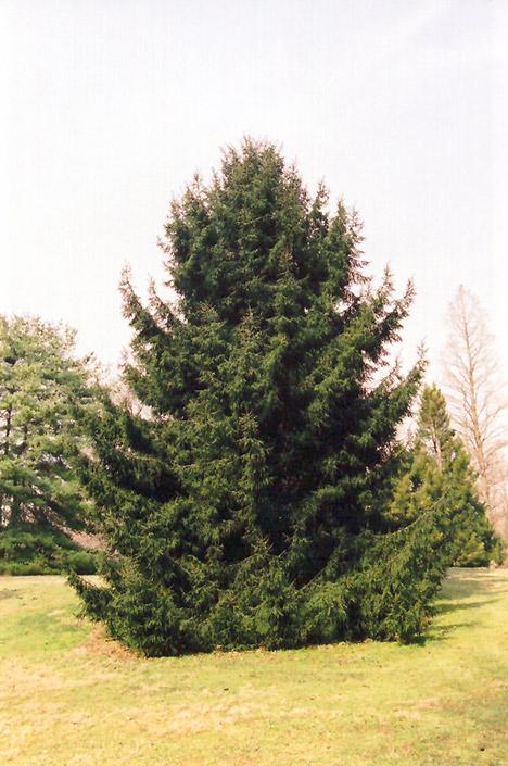 Oriental Spruce Picea Orientalis In Columbus Dublin