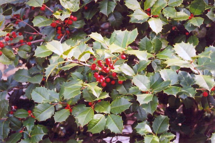 American Holly Ilex Opaca In Columbus Dublin Delaware Grove City Gahanna Bexley Ohio Oh At