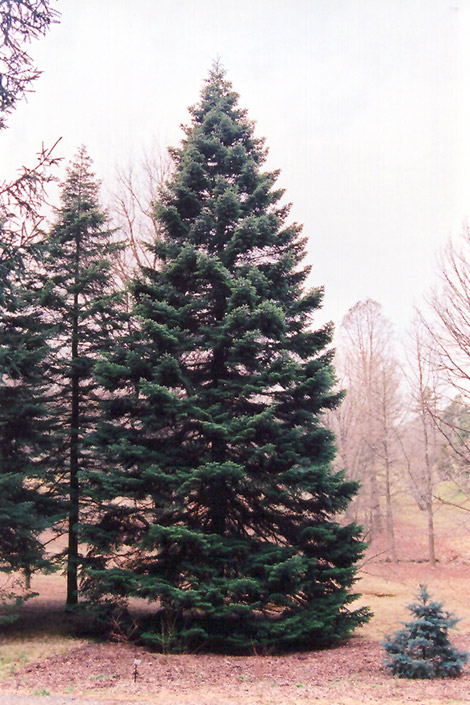 Nordmann Fir Abies Nordmanniana In Columbus Dublin