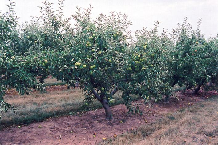 jonagold tree
