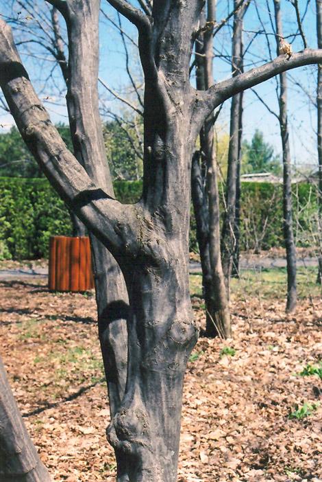 American Hornbeam Carpinus Caroliniana In Columbus