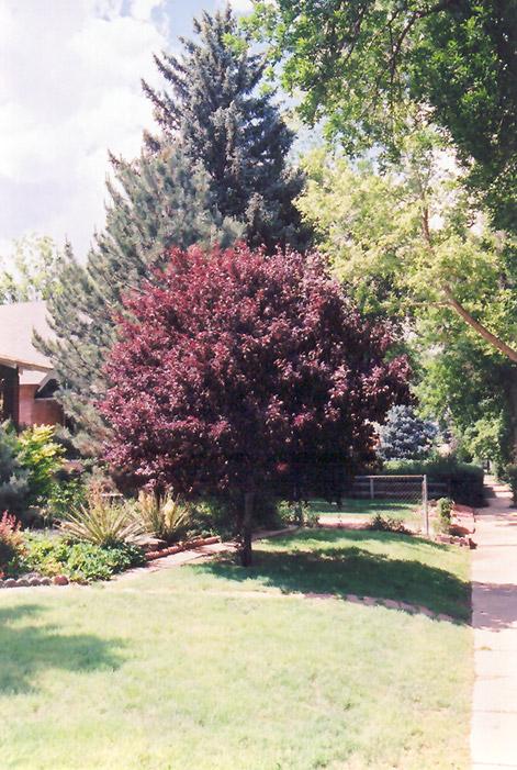 Purpleleaf Plum Prunus Cerasifera Atropurpurea In Columbus