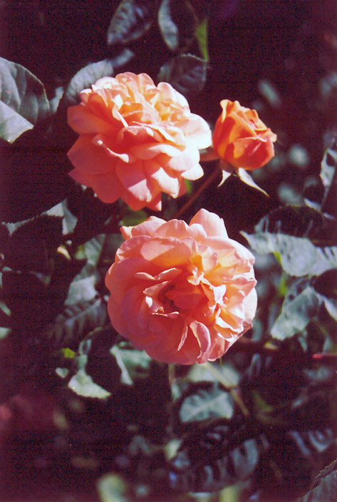 charles austin rose rosa 39 charles austin 39 in columbus. Black Bedroom Furniture Sets. Home Design Ideas