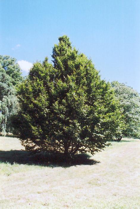 Carpinus Hornbeam
