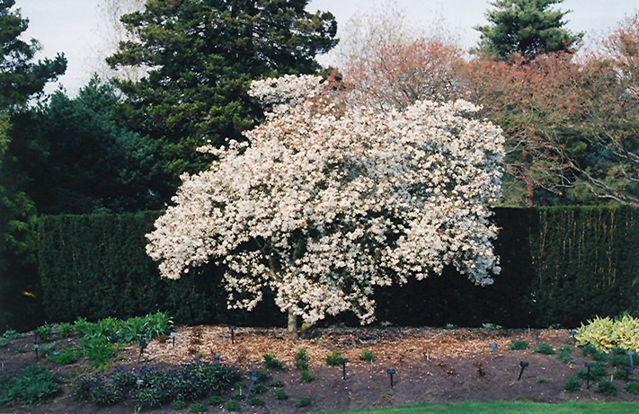 star magnolia magnolia stellata in columbus dublin. Black Bedroom Furniture Sets. Home Design Ideas