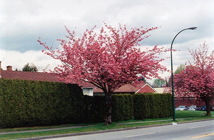 Kwanzan Flowering Cherry Prunus Serrulata Kwanzan In
