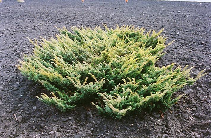 Japanese Garden Juniper Juniperus Chinensis Procumbens