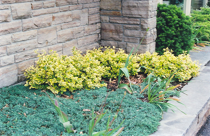 Sungold Wintercreeper Euonymus fortunei Sungold in Columbus
