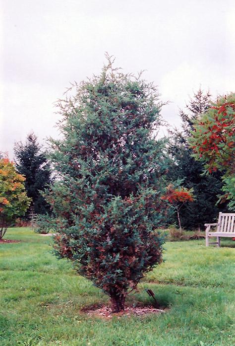 Chinese Juniper Juniperus Chinensis In Columbus Dublin