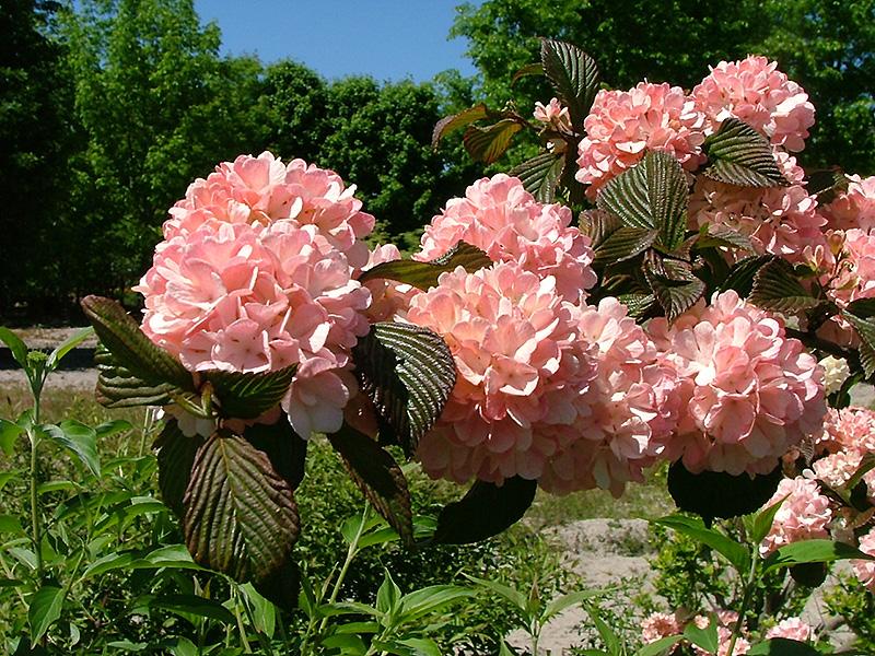 Sparkling pink champagne viburnum viburnum plicatum spichazam in sparkling pink champagne viburnum viburnum plicatum spichazam at oakland nurseries inc mightylinksfo