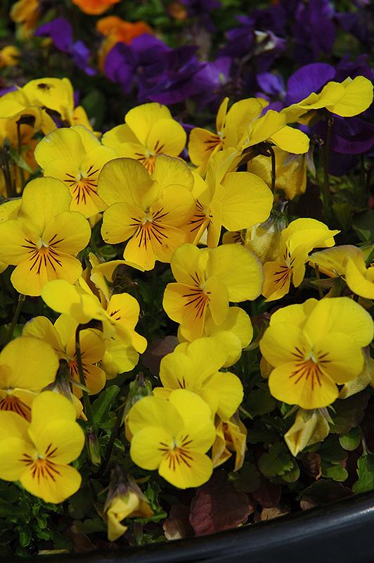 Penny yellow pansy viola cornuta penny yellow in columbus dublin penny yellow pansy viola cornuta penny yellow at oakland nurseries inc penny yellow pansy flowers mightylinksfo