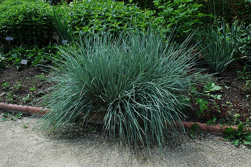 Blue Oat Grass (Helictotrichon sempervirens) in Columbus ...
