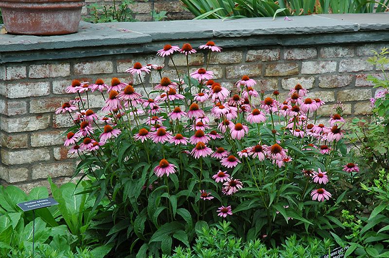 magnus coneflower echinacea purpurea 39 magnus 39 in. Black Bedroom Furniture Sets. Home Design Ideas