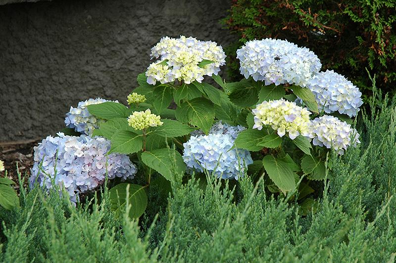 Endless Summer Hydrangea Hydrangea macrophylla Endless Summer – Plant World Nursery and Garden Center