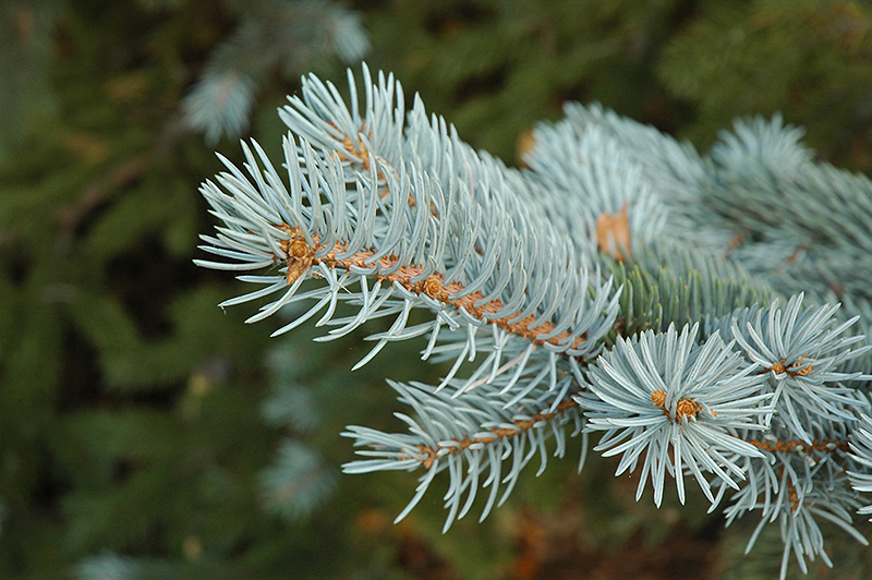 Blue Colorado Spruce Picea Pungens Var Glauca At Oakland Nurseries Inc