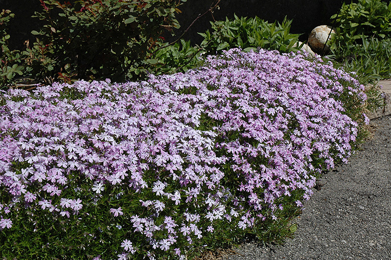 emerald blue moss phlox phlox subulata 39 emerald blue 39 in columbus dublin delaware grove city. Black Bedroom Furniture Sets. Home Design Ideas