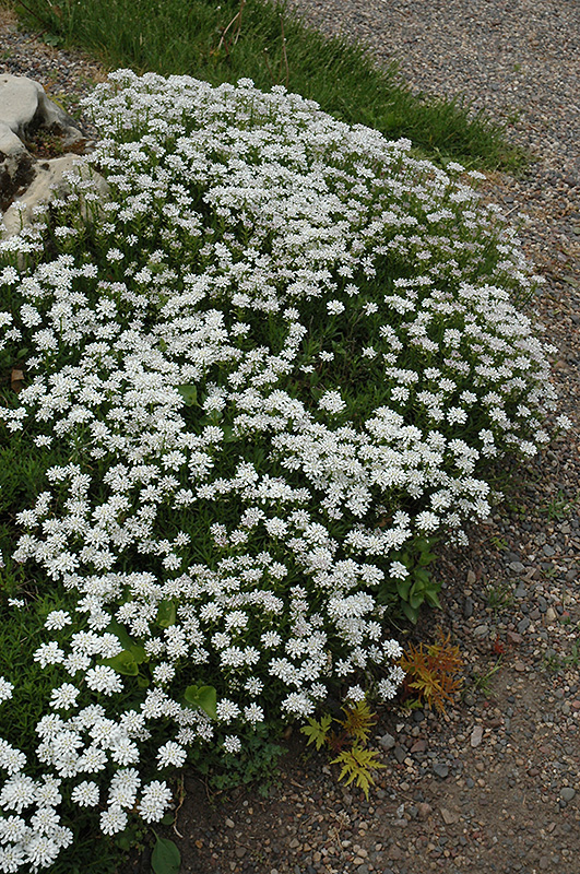 Little Gem Candytuft Iberis Sempervirens Little Gem In