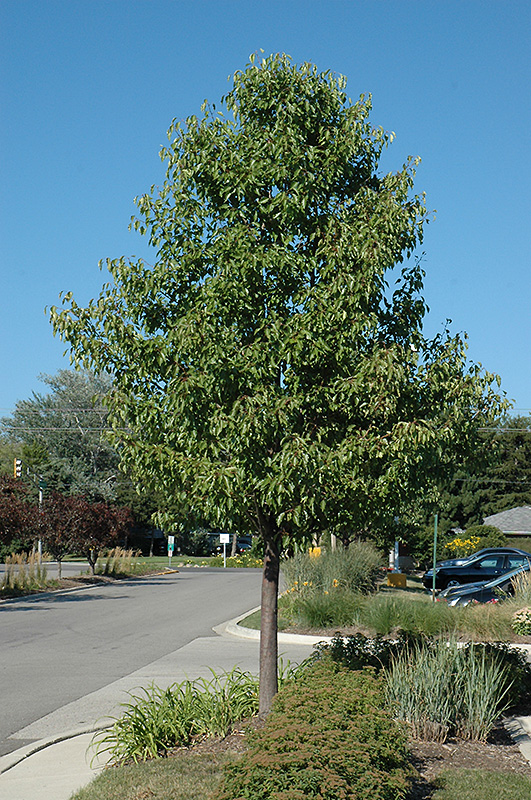 Aristocrat Ornamental Pear Pyrus Calleryana Aristocrat In