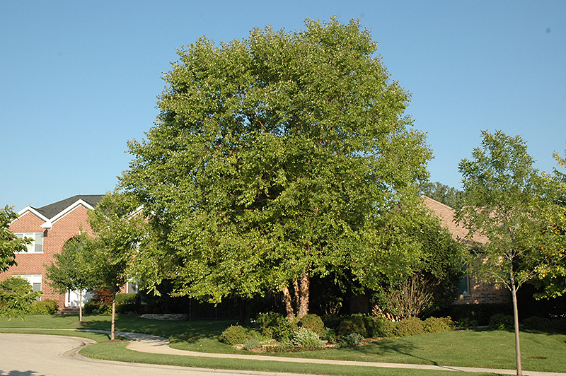 Heritage birch tree pictures Heritage River Birch Tree for Sale Fast Growing Trees