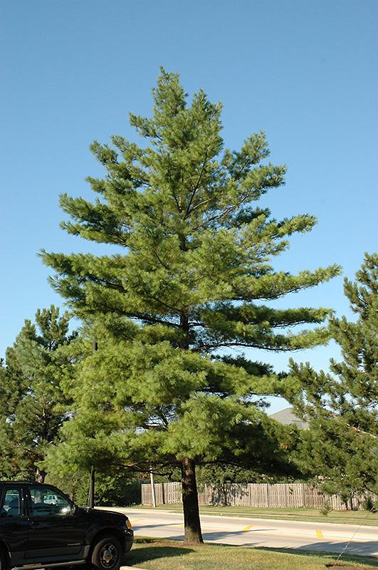 White Pine Pinus Strobus In Columbus Dublin Delaware