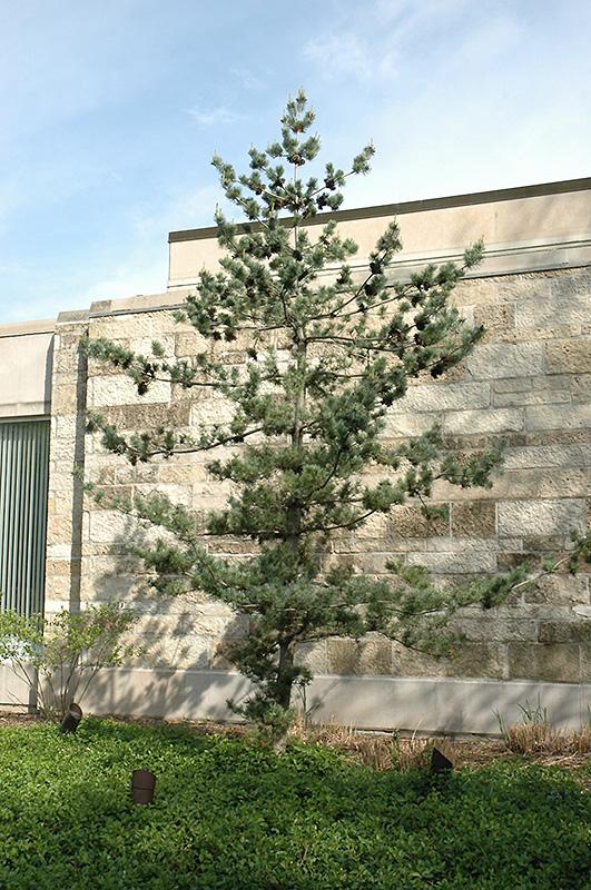 Japanese White Pine Pinus Parviflora In Columbus Dublin