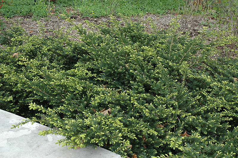 Click to view full-size photo of Everlow Yew (Taxus x media 'Everlow ...: plants.oaklandnursery.com/12130001/Plant/5058/Everlow_Yew