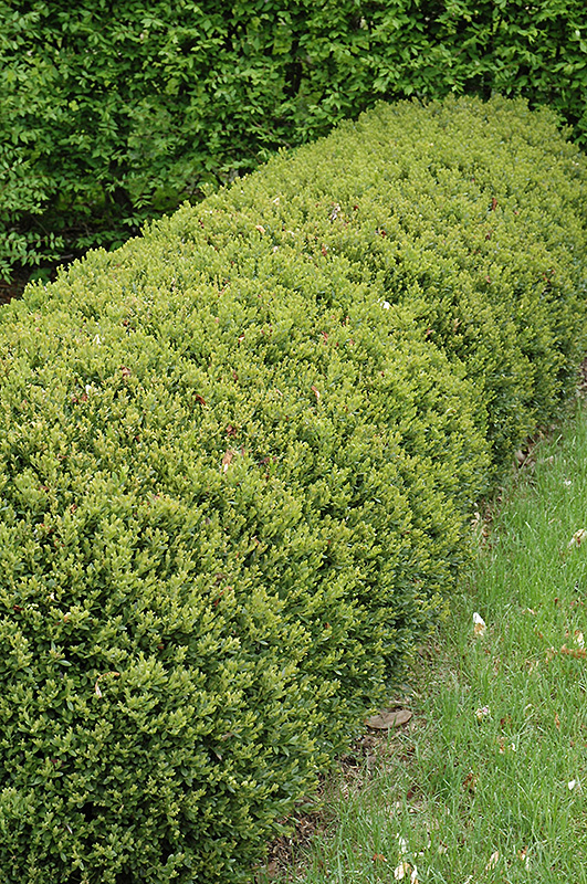 Green Gem Boxwood Buxus Green Gem In Columbus Dublin