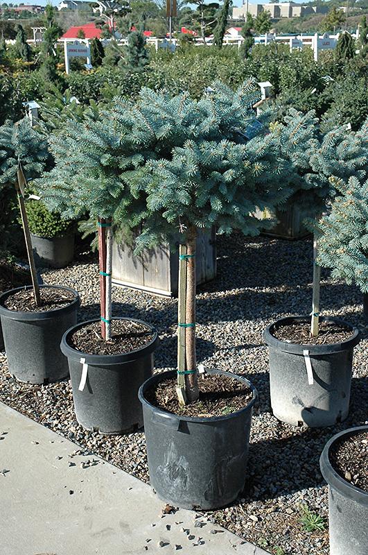 Globe Blue Spruce Tree Form Picea Pungens Globosa