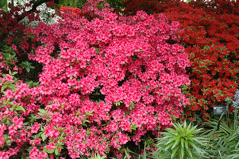 Girard S Rose Azalea Rhododendron At Oakland Nurseries Inc
