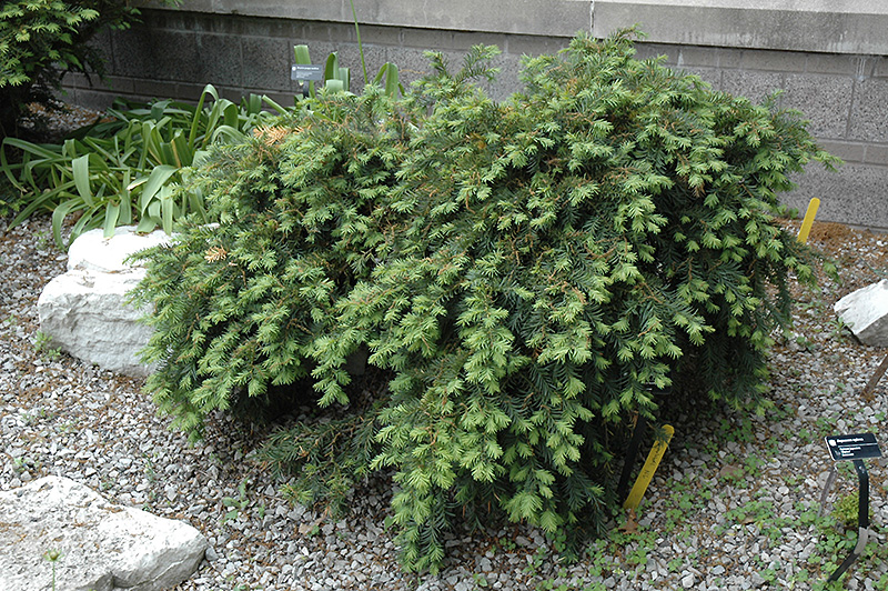 Dwarf Japanese Plum Yew Cephalotaxus Harringtonia Nana