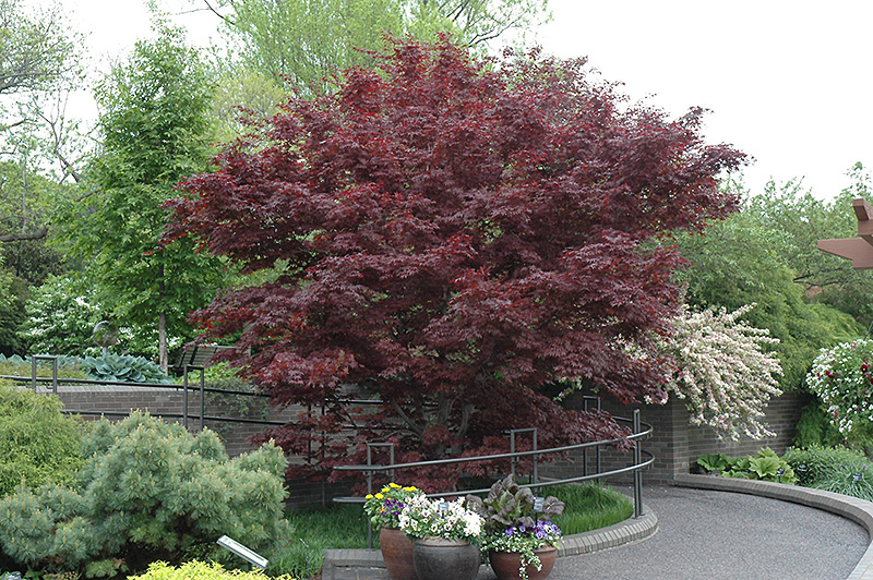 bloodgood japanese maple acer palmatum 39 bloodgood 39 in columbus dublin delaware grove city. Black Bedroom Furniture Sets. Home Design Ideas