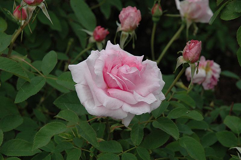 The Mayflower Rose (Rosa 'The Mayflower') in Columbus ...