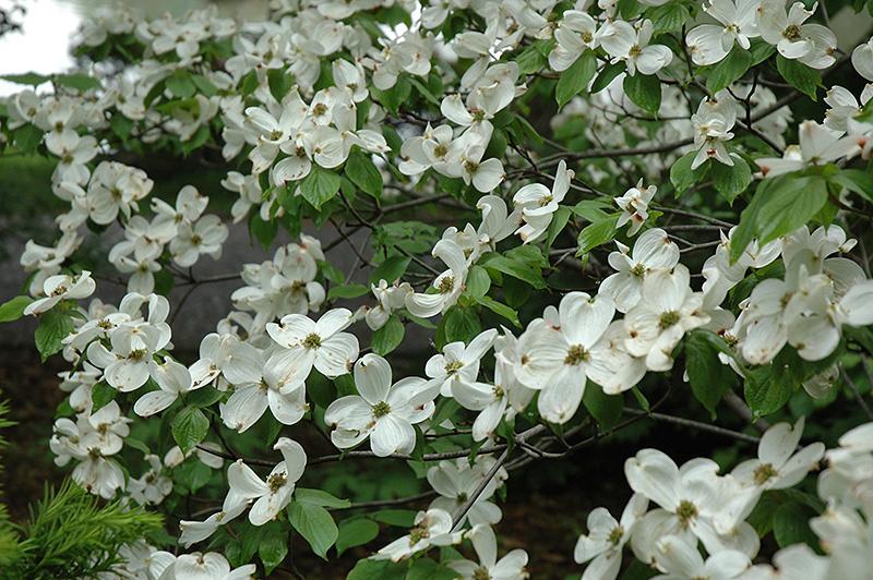 Cherokee Princess Flowering Dogwood Cornus Florida Cherokee
