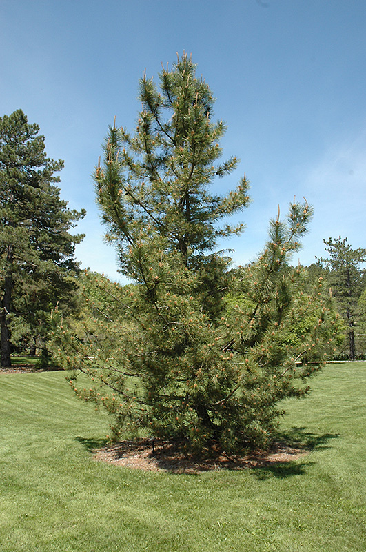 Japanese Black Pine Pinus Thunbergii In Columbus Dublin