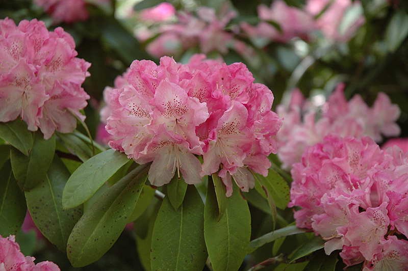 Holden Rhododendron At Oakland Nurseries Inc