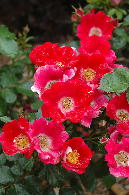 Carefree Spirit Rose Rosa Carefree Spirit In Columbus
