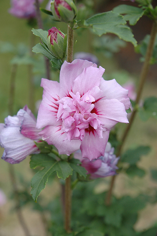 ardens rose of sharon hibiscus syriacus 39 ardens 39 in. Black Bedroom Furniture Sets. Home Design Ideas