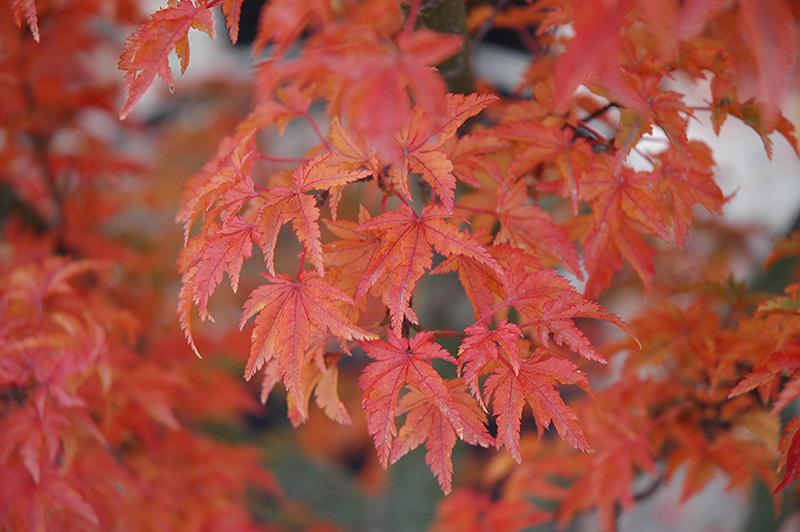 Lions Head Japanese Maple Acer Palmatum Shishigashira In