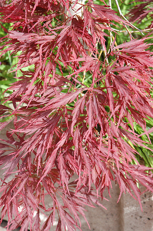 Ever Red Japanese Maple Ever Red Lace-leaf Japanese