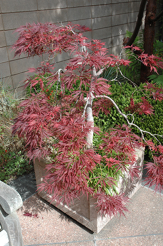 Ever Red Lace Leaf Japanese Maple Acer Palmatum Ever Red In