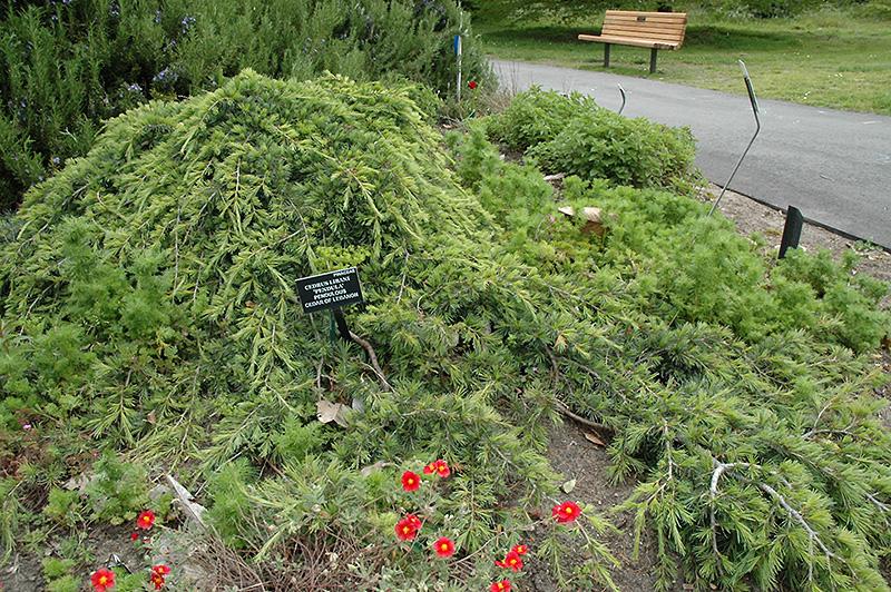 Weeping Cedar Of Lebanon (Cedrus Libani U0027Pendulau0027) At Oakland Nurseries Inc