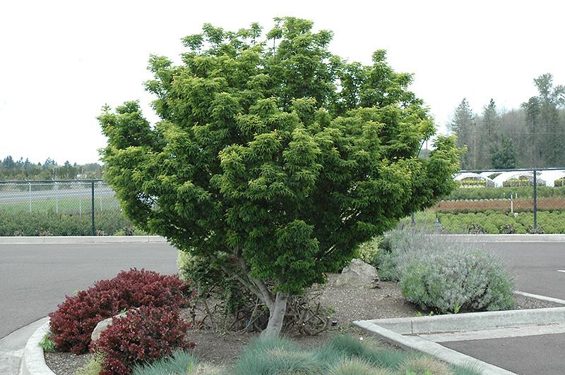 Резултат с изображение за Acer palmatum 'Shishigashira'