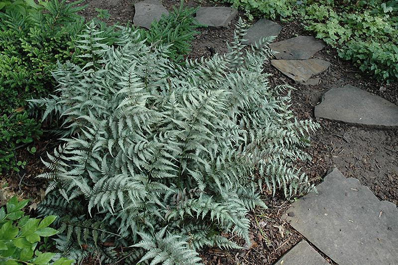 Japanese painted fern athyrium goeringianum in columbus for Plants found in japanese gardens