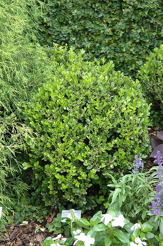 Winter Gem Boxwood (Buxus microphylla \'Winter Gem\') in Columbus ...