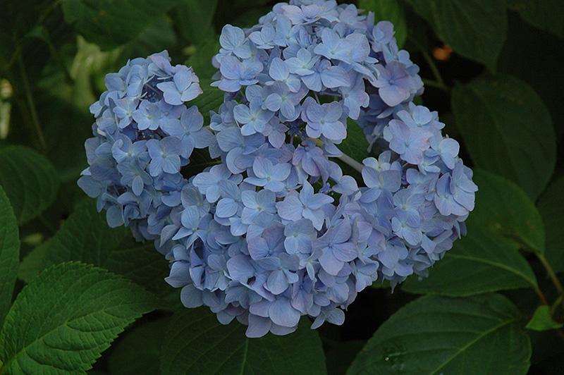 Nikko Blue Hydrangea Hydrangea macrophylla Nikko Blue in – Plant World Nursery and Garden Center