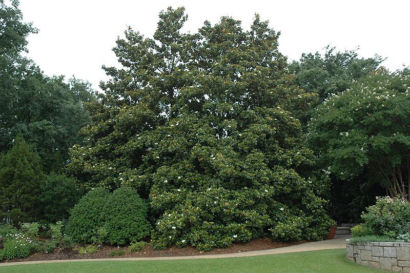 Edith Bogue Magnolia Magnolia Grandiflora Edith Bogue In