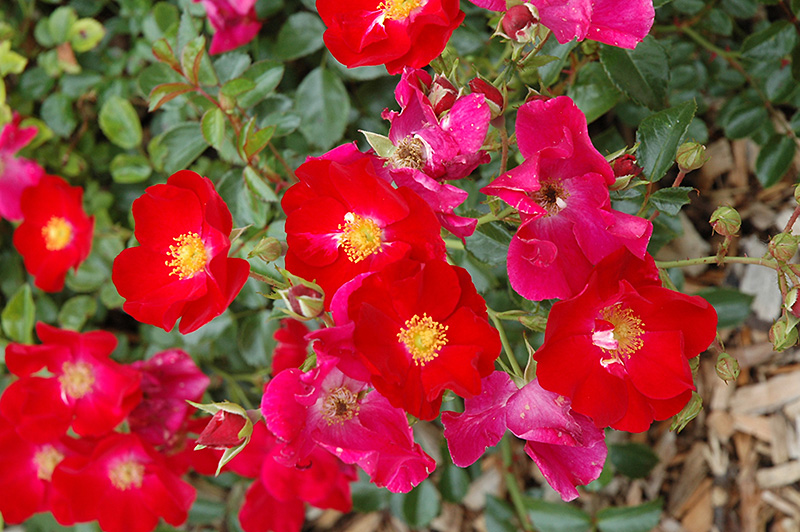 Flower Carpet Red Rose Rosa Flower Carpet Red In