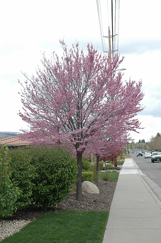 Eastern Redbud Cercis Canadensis At Oakland Nurseries Inc
