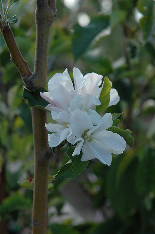 Whitney Flowering Crab Malus Whitney In Columbus